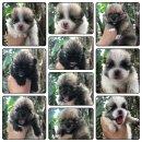 ขายเหมาลูกสุนัขปอม5ตัวผู้2ตัวเมีย3ตัวราคา25000บาทสนใจติดต่อได้ที่0625413275
