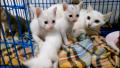 ขายแมวขาวมณี แมวพันธุ์ไทยแท้ หายาก