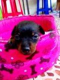 ขายลูกสุนัขมิเนเจอร์พินเชอร์ พันธุ์แท้ 2500 บาท
