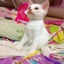 ขายลูกแมวขาวมณีแท้เกรดสวยๆราคา2,500บาทคะ
