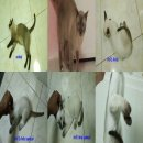 ขายลูกแมววิเชียรมาศ แต้มครบ ตาฟ้า สวยๆ พ่อพันธุ์ แม่พันธุ์ แท้ๆ