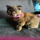 ขายลูกแมว Scottish fold แท้ วัย 3 เดือน เพศเมีย พร้อมส่งตัวค่ะ