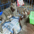 ลูกแมวโคราช(สีสวาด) อายุ 2เดือน 5วัน สวยสมบูรณ์ ตัวละ 2500 บาท มีรูป พ่อแม่แมว ให้พิจารณา