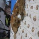 ขายแมวเปอรเซียสีกาฟิว