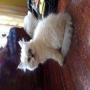 ลูกแมวเปอร์เซียร์ เพศเมีย พร้อมย้ายบ้าน