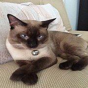 ลูกแมวไทยโบราณวิเชียรมาศแท้
