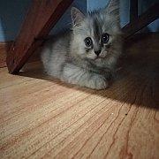 ลูกแมวเปอร์เซียร์แท้  เพศเมีย