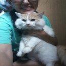 [ขาย] แมวเปอร์เซีย เกรด PET เกรดเลี้ยงเล่น แมวมงคล สีส้ม-ขาว เพศผู้ น่ารักมากๆ หล่อ