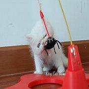 ลูกแมว Exotic sh ขนสั้น สีขาว ตาสีฟ้า เพศชาย