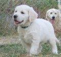 KCT Reg. White Golden Retriever Pups ราคาพิเศษอาทิตย์นี้!