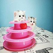 แมวสก๊อตติสโฟลด์ แมวหูพับ สายเลือดแชมป์ ใบเพ็ดนอกWCF