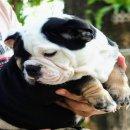 ขายลูกสุนัขอิงลิชบูลด็อก (พ่อพันธ์นำเข้า)