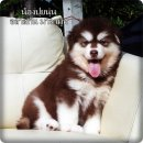 Female Alaskan Malamuth Puppies For Sale.