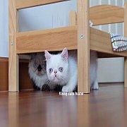 ลูกแมว Exotic sh เอ็กโซติก ขนสั้น สีขาว ตาสีฟ้า เพศหญิง