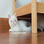 พร้อมย้ายบ้าน  ลูกแมว Exotic sh เอ็กโซติก ขนสั้น สีขาว ตาสีฟ้า เพศหญิง