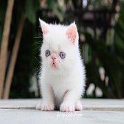Exotic sh (ขนสั้น) สีขาว ตาสีฟ้า เพศหญิง