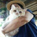 [ขาย] ลูกแมวเปอร์เซีย เกรด PET เกรดเลี้ยงเล่น หล่อๆๆ สีส้มการ์ฟิล์ว สีส้ม-ขาว เพศผู้ น่ารักมากๆ หล่อ