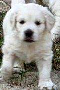 White Golden Retriever Puppies โกลเด้นรีทรีฟเวอร์  สีขาว!