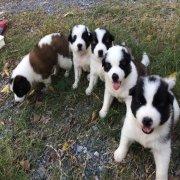 จำหน่ายลูกสุนัขบางแก้วแท้ ตัวละ3,000บาท T.081-4058250