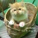 น้องแมวเปอร์เซียแท้ สุขภาพแข็งแรง ร่าเริง