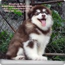 Giant Alaskan Malamuth Puppies For Sale.