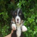 ขายลูกสุนัข welsh corgi เวลซ์ คอร์กี้