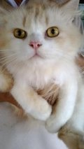 ขายพ่อพันธุ์แมวเปอร์เซียหน้าตุ๊กตา ตัวโต ขนสวย