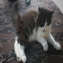 ลูกแมวเปอร์เซียขนฟูน่ารักๆ พร้อมย้ายบ้าน