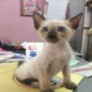 ขายลูกแมววิเชียรมาศ แมวไทยมงคลโบราณสายพันธุ์แท้