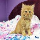 ขายลูกแมวเปอร์เซีย สุดน่ารัก  ราคาเบาๆ