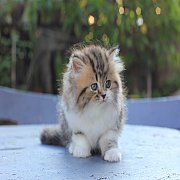 lovecat 8 เปิดจองแมวเปอร์เซียหน้าตุ๊กตา เพศ ชาย