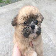 ขายลูกสุนัขปอมผสมชิส ราคา 3700