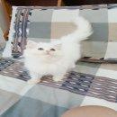 ลุกแมวเปอรเซีย เพษเมีย สีขาว