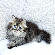 ขายแมวเปอร์เซีย สีบราวน์แท็บบี้ เพศเมีย อายุ 2 เดือน 3800 บ.