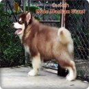 Male Giant Alaskan Malamuth Puppy For Sale.