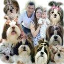 Kibzaa Shihtzu 《 จำหน่ายสุนัขสายพันธ์ชิสุห์แท้ 》💥ประสบการณ์กว่า 6 ปี💥  รับบัตรเครดิต ✔ สด ✔ผ่อน