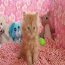 ลูกแมวเปอร์เซีย อายุระหว่าง เดือนครึ่ง - สี่เดือน ราคา 3900 บาท มีทั้งตัวผู้ ตัวเมีย