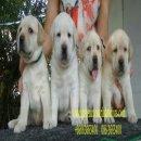 ลูกสุนัขลาบราดอร์สีเหลืองใหญ่จริงคอนเฟิร์ม ฟาร์มกรีนคอร์เนอร์