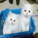 ขายลูกแมวเปอร์เซียน่ารักๆๆมีหลายตัวให้เลือกค่ะ