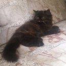 ลูกแมวเปอร์เซียแท้สีกระดองเต่าสวยๆอายุสามเดือนค่ะ