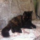 ด่วนนน ลูกแมวเปอร์เซียแท้สีสวยๆ พร้อมย้ายบ้านค่ะ