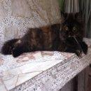 ลูกแมวเปอร์เซียแท้ หน้าสวยๆ ขนแน่นๆพร้อมย้ายบ้านค่ะ