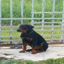 พ่อพันธุ์สุนัขร๊อตไวเลอร์  รับผสมพันธุ์ 4000 B. ถ้าไม่ติดรับผสมใหม่ครับ