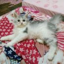 ขายลูกแมวเปอร์เซียแท้สีเทาขาวเมียทำวัคซีนเข็มแรกถ่ายพยาทแล้ว