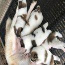 เปิดจองลูกบางแก้วแท้ สุนัขบ้าน พ่อแม่ดุ กทม จัดส่งฟรีและใกล้เคียง