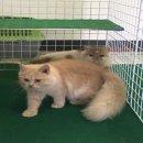 แมวเปอร์เซีย เพศเมีย 7 เดือน