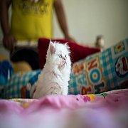 แมวเปอร์เซียแท้ หน้าตุ๊กตาเพศเมีย สีขาวตาสีฟ้า
