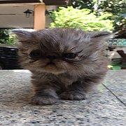 ลูกแมวเปอร์เซียแท้ หน้าบี้