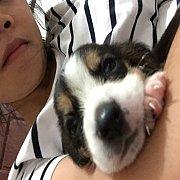 Sale ลูกบีเกิ้ล (สายเลือดดี) แข็งแรง น้องหมาอายุ 40วัน เพศผู้/เพศเมีย 4000 THB