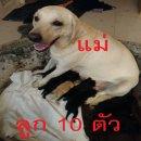 ขายลูกสุนัข ลาบราดอร์ แท้ สีดำ เพศเมีย 3,500บาท นครราชสีมา